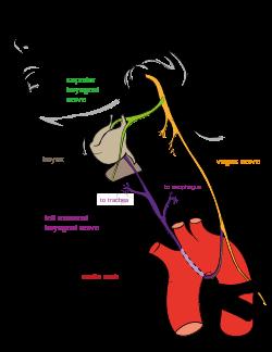 Nervo laríngeo recorrente